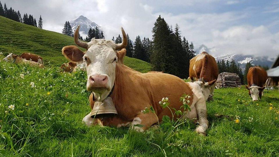 Adotta una mucca e riceverai formaggio fresco a casa