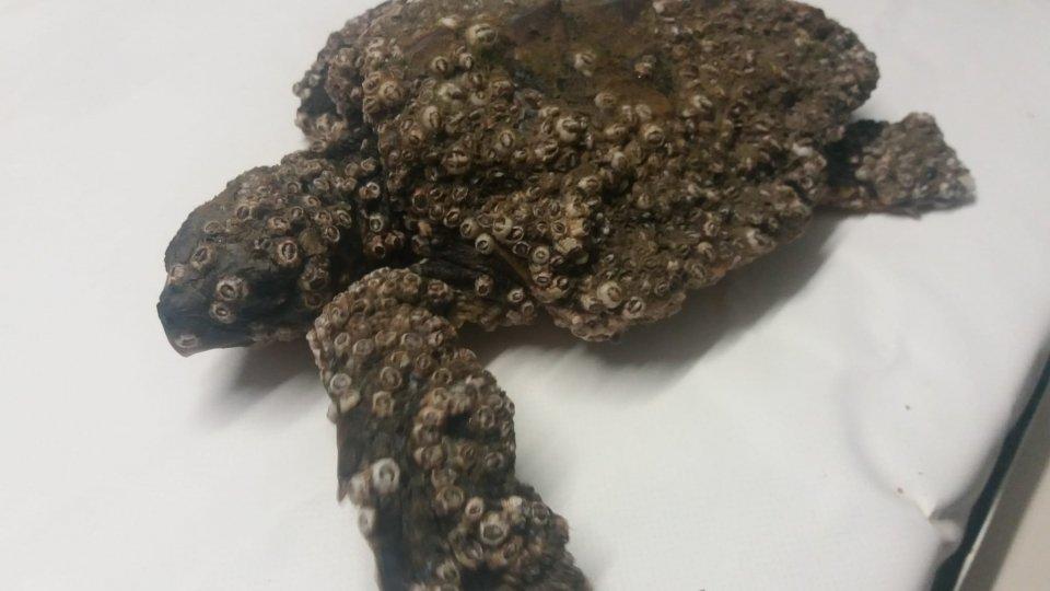 Fondazione Cetacea: diverse tartarughe recuperate nelle ultime settimane
