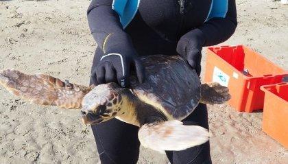 Tornano in mare le tartarughe marine Babi e Cleo, salvate dalla Fondazione Cetacea