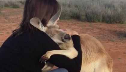 Australia: il canguro che abbraccia i volontari