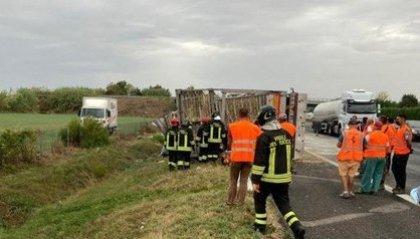 Strage di galline in A14, ribaltato camion con oltre 10mila animali